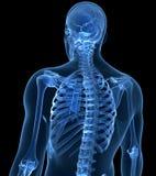 Male skeleton. 3d rendered illustration of the male skeleton Royalty Free Stock Photo