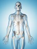 Male skeleton. 3d rendered illustration of the male skeleton Royalty Free Stock Image