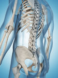 Male skeleton. 3d rendered illustration of the male skeleton Royalty Free Stock Photography