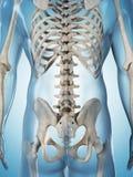 Male skeleton. 3d rendered illustration of the male skeleton Stock Photography