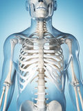 The male skeleton. 3d rendered illustration of the male skeleton Stock Photos