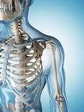 The male skeleton. 3d rendered illustration of the male skeleton Stock Photography