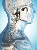 Male skeleton Royalty Free Stock Image