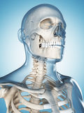 The male skeleton Stock Photography