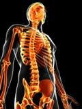 The male skeleton. 3d rendered illustration of the male skeleton Stock Images