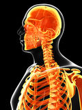 The male skeleton. 3d rendered illustration of the male skeleton Royalty Free Stock Images