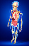 Male skeleton and digestive system Stock Photos