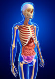 Male skeleton and digestive system Royalty Free Stock Photos