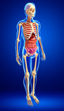 Male skeleton and digestive system Royalty Free Stock Images