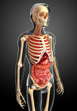 Male skeleton and digestive system Royalty Free Stock Photography