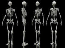 Male skeleton four views Royalty Free Stock Image