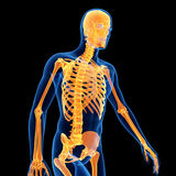 The male skeleton Royalty Free Stock Image