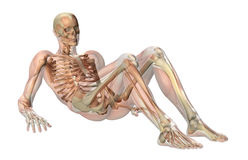 Male Skeleton with Semi-transparent Muscles Royalty Free Stock Images