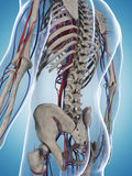Male skeleton and vascular system Stock Image