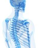 Male skelett Royaltyfria Bilder
