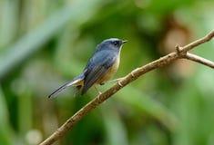 Male Slaty-blue Flycatcher (Ficedula hodgsonii) Stock Photo
