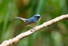 Male Slaty-blue Flycatcher (Ficedula hodgsonii) Stock Image