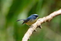 Male Slaty-blue Flycatcher (Ficedula hodgsonii) Stock Photography