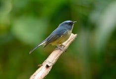 Male Slaty-blue Flycatcher (Ficedula hodgsonii) Royalty Free Stock Photography