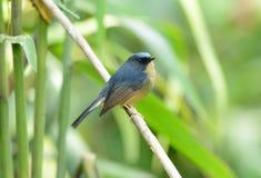 Male Slaty-blue Flycatcher (Ficedula hodgsonii) Royalty Free Stock Photo
