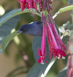 Male Slaty Flowerpiercer. Hanging from pink flowers Royalty Free Stock Photos