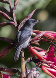 Male Slaty Flowerpiercer. Perched on a flower Royalty Free Stock Photos