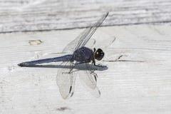 Male Slaty Skimmer - Ontario, Canada. Male Slaty Skimmer Libellula incesta - Ontario, Canada Stock Images