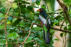 A male Slaty-tailed Togon. A multicolored male Slaty-tailed Trogon in the Panama rainforest Royalty Free Stock Photography