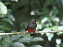 Male Slaty-tailed Trogon in Arenal forest Royalty Free Stock Photos