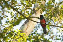 Male Slaty-tailed Trogon Perching in Tree. This beautiful bright red breasted green bird with orange beak perched on a tree branch surrounded by green leaves is Stock Photography