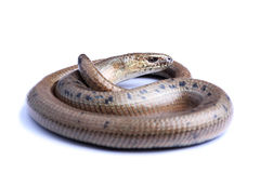 Male of Slowworm (Anguis fragilis) isolated on white Royalty Free Stock Images
