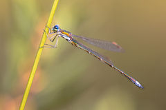 Male Small emerald spreadwing dragonfly Royalty Free Stock Images
