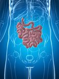 Male small intestine. 3d rendered illustration of the male small intestine Royalty Free Stock Image