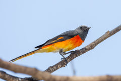 Male Small Minivet Royalty Free Stock Photos