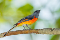 Male Small Minivet Stock Image