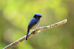 Male small niltava. Beautiful male small niltava (Niltava macgrigoriae Stock Image
