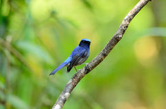 Male small niltava. Beautiful male small niltava (Niltava macgrigoriae) in Thai forest Stock Image