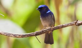 Male Small Niltava in Thailand. Forest Royalty Free Stock Image