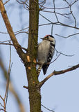 Male small spotted woodpecker. Royalty Free Stock Image