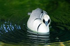 Male Smew, bathing and swimming. One beautiful white feather male Smew, Mergellus albellus,  is bathing and swimming on a clear water pool at san diego zoo, San Royalty Free Stock Photo