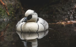 Male Smew. A black and white duck called a Smew floats in water Stock Photo