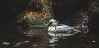 Male Smew. A black and white duck called a Smew floats in water Royalty Free Stock Photography