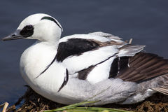 Male smew duck lying on land by water edge. Profile close up of. Male smew Mergellus albellus duck lying on land by water edge. Profile close up of black and Royalty Free Stock Image