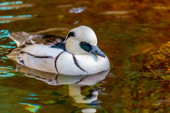 Male Smew Duck. A male Smew Duck swims on the lake Royalty Free Stock Photos