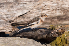 Male Snow Bunting Stock Image
