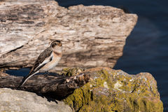 Male Snow Bunting Stock Photography