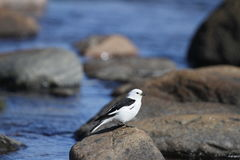 Male snow bunting Plectrophenax nivalis sitting on a rock Royalty Free Stock Image
