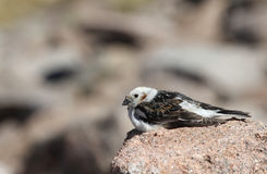 A male Snow Bunting Plectrophenax nivalis in summer plumage. A male Snow Bunting Plectrophenax nivalis in summer plumage, sitting on a rock high up in the Royalty Free Stock Image