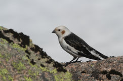 A male Snow Bunting Plectrophenax nivalis in summer plumage standing on a rock, with snow in the background. Royalty Free Stock Image