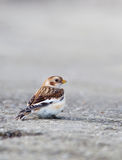Male Snow Bunting in winter Stock Photos